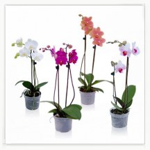 Orchidea doniczkowa - phalenopsis