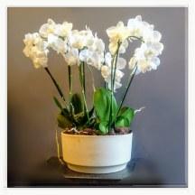 Kompozycja z białych storczyków